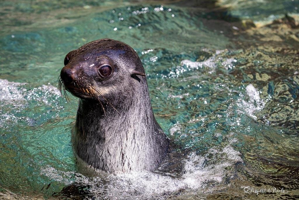 Swimming fur seal