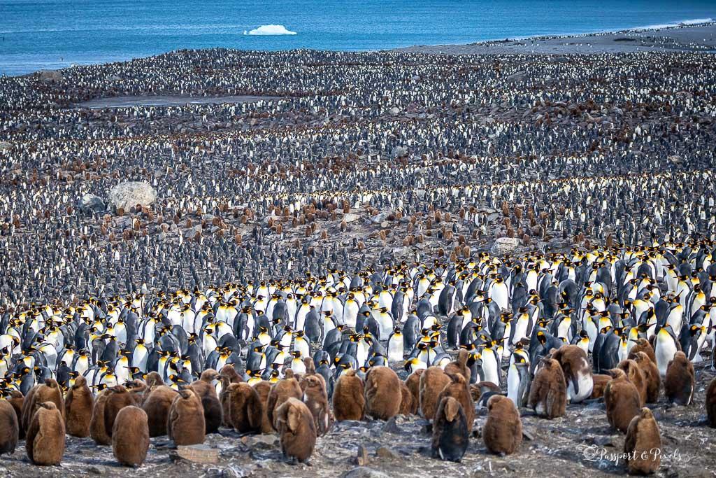 King penguin colony, St Andrews Bay South Georgia