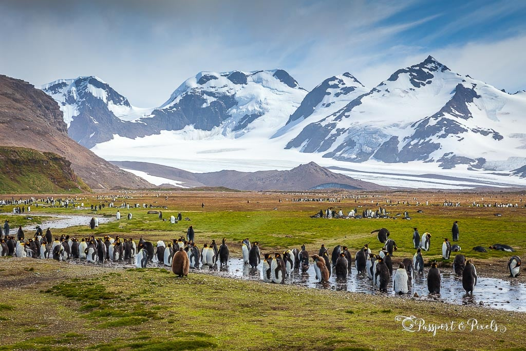 King penguins in the landscape at Salisbury Plain, South Georgia Island