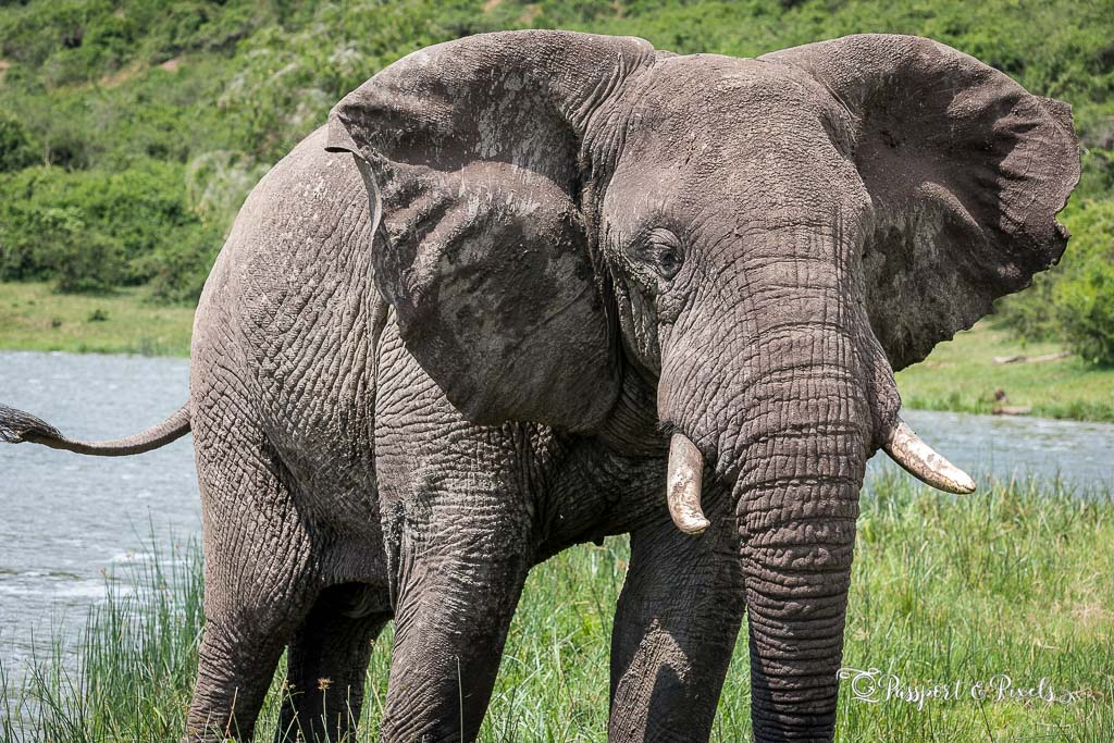 Animals on safari: African elephant, Queen Elizabeth National Park, Uganda