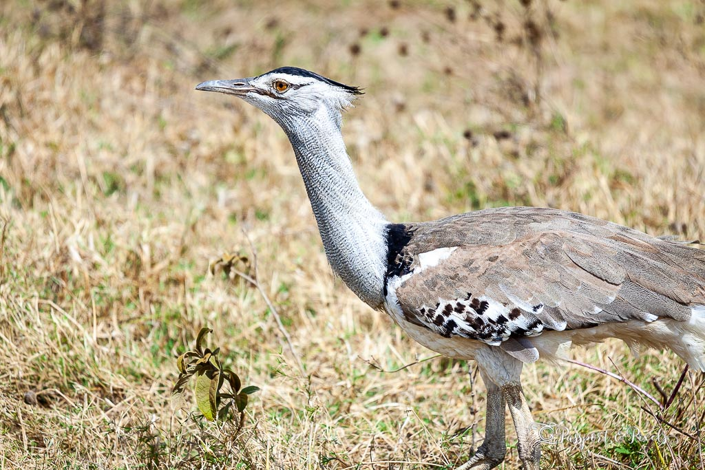 Birds to see on safari: Kori Bustard, Kruger National Park, South Africa