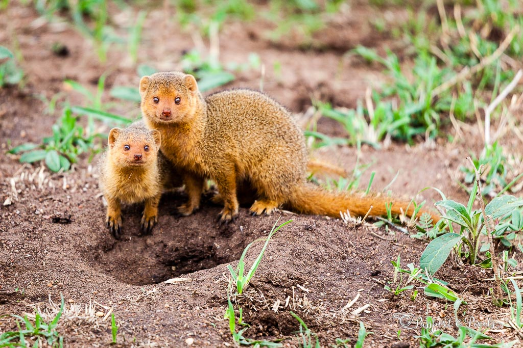 Animals on safari: Dwarf mongoose, Serengeti, Tanzania