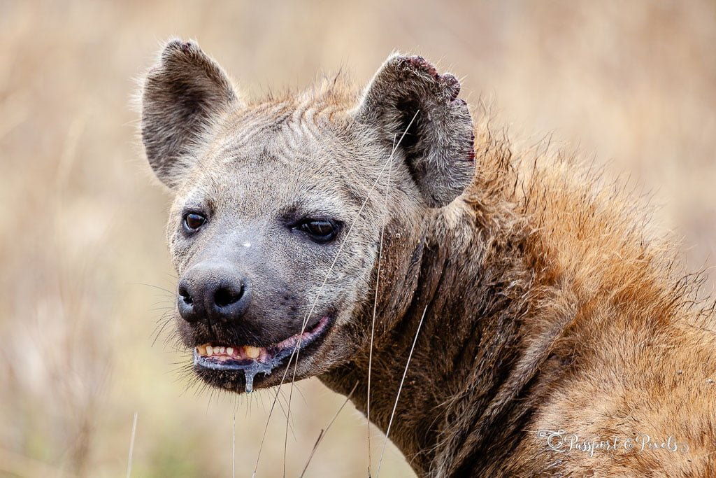 Animals on safari: Spotted Hyena, Serengeti, Tanzania