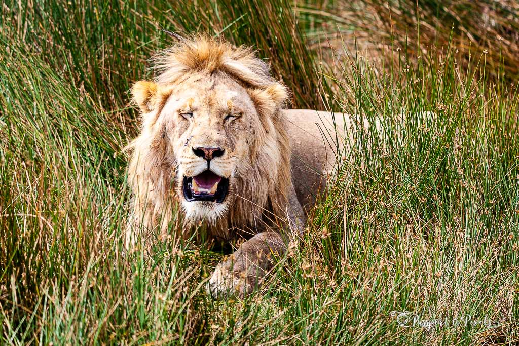 Animals on safari: Male lion, Serengeti, Tanzania