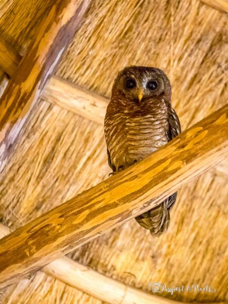 African wood owl perched in the rafters of a lodge in Uganda