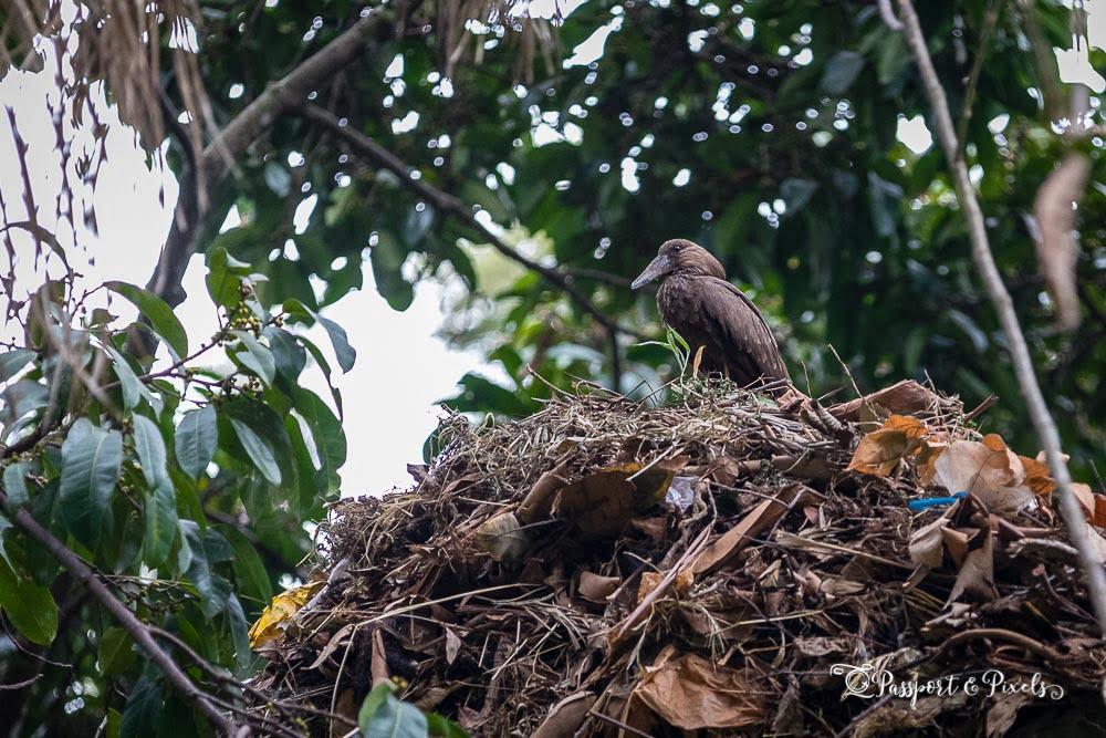 A hamerkop on its nest, Entebbe, Uganda