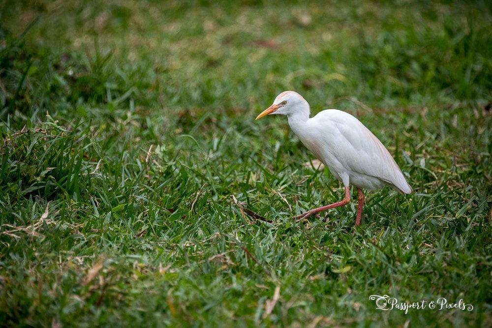 Cattle egret, Tanzania