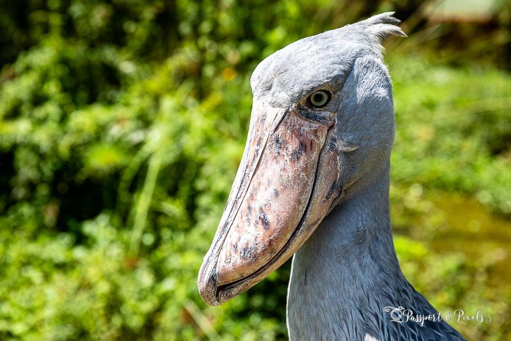 Birds of Africa: Shoebill, Uganda