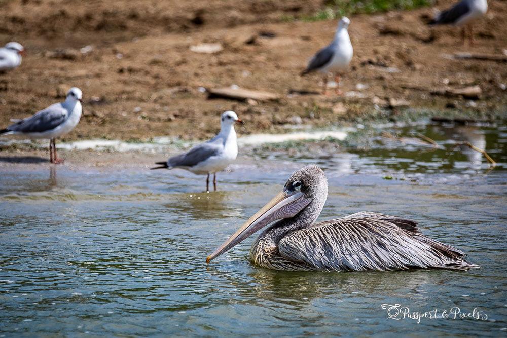 Pink-backed pelican on the Kazinga Channel, Uganda