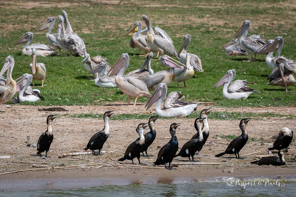 Pink-backed pelicans and great cormorants, Uganda