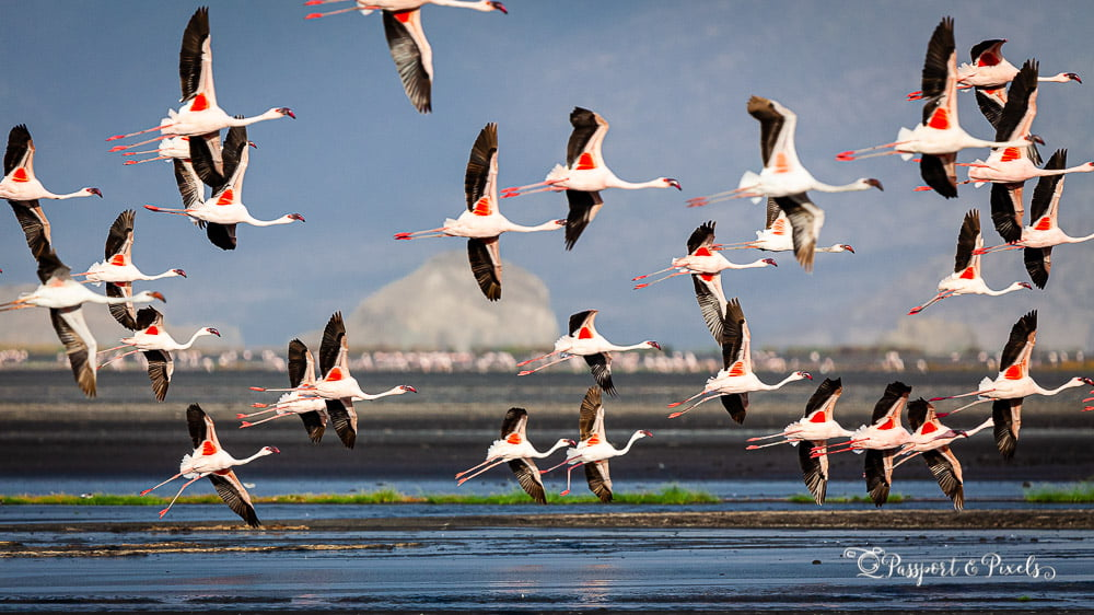 Africa birds: Flamingos in flight, Lake Natron, Tanzania