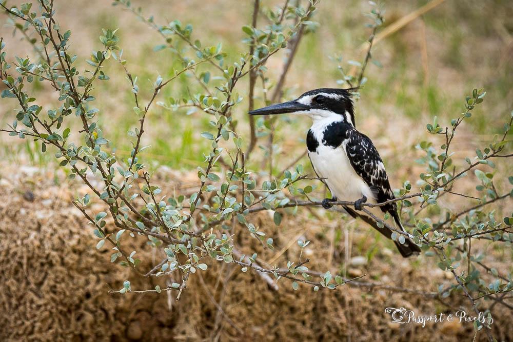 Pied kingfisher, Uganda