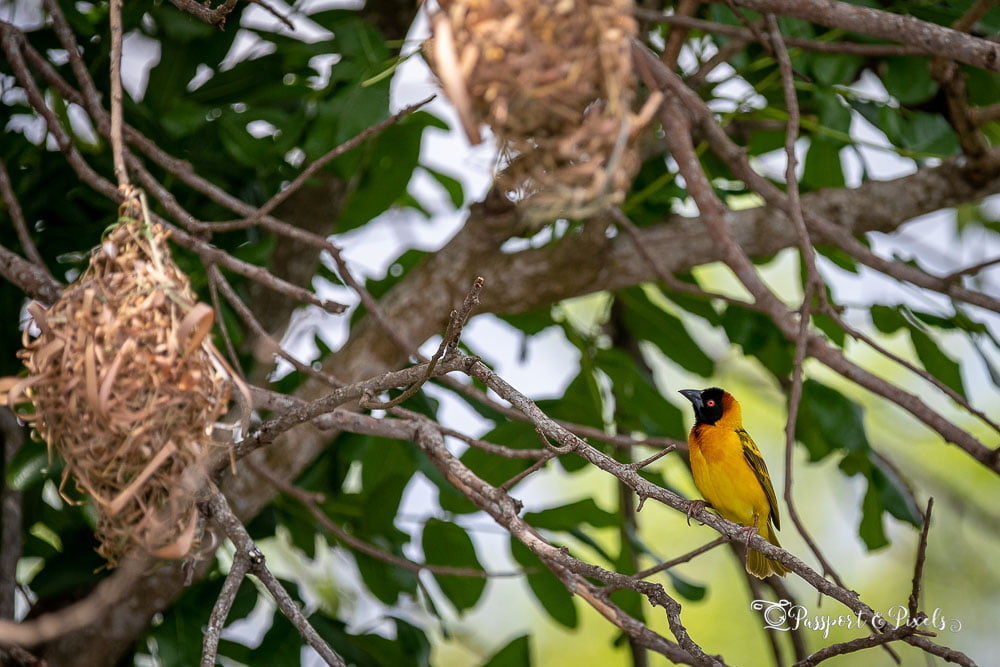Black-headed weaver bird with nests, Uganda
