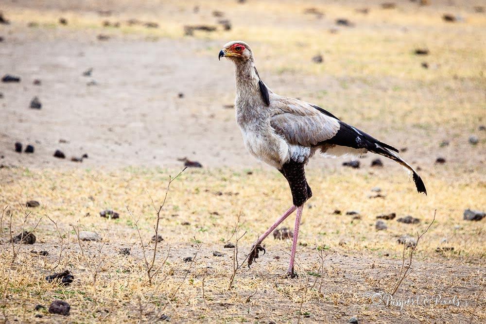 African birds: Secretary bird, Serengeti, Tanzania