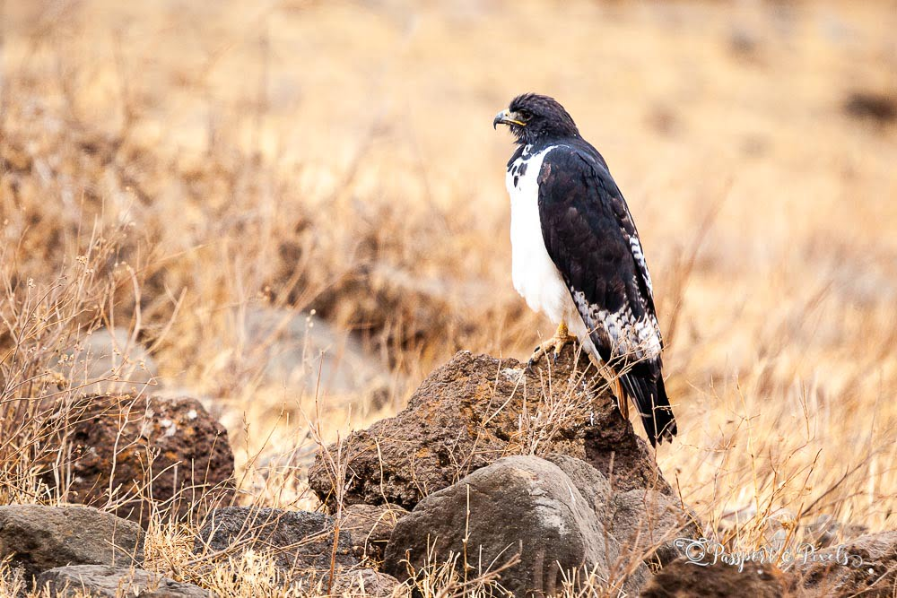 Augur buzzard, South Africa
