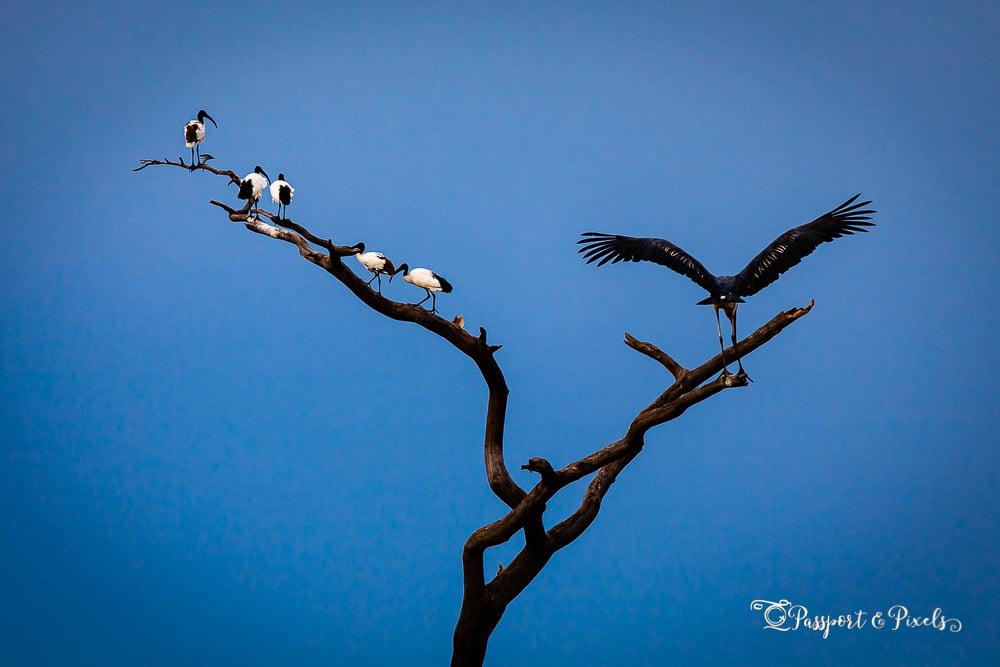 African birds: Five sacred Ibis and a Marabou stork, Tanzania