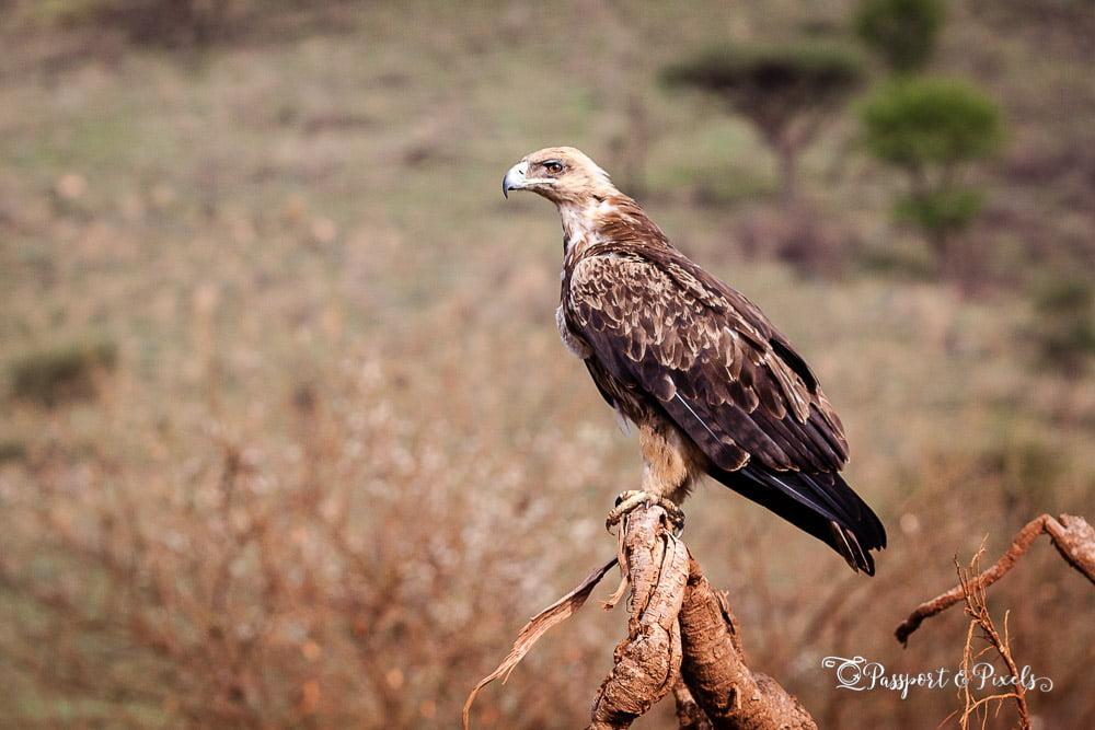 Tawny eagle, Tanzania