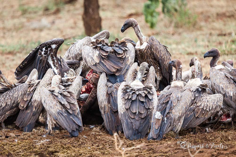 White-backed vultures feeling on a buffalo carcass, Tanzania