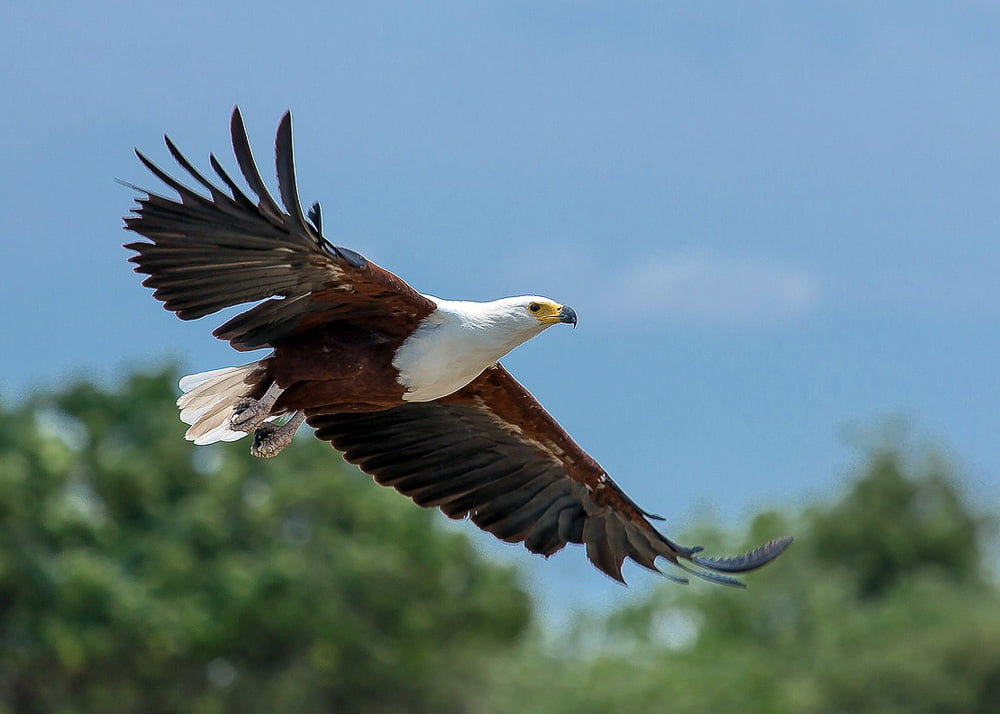 Africa birds: African fish eagle