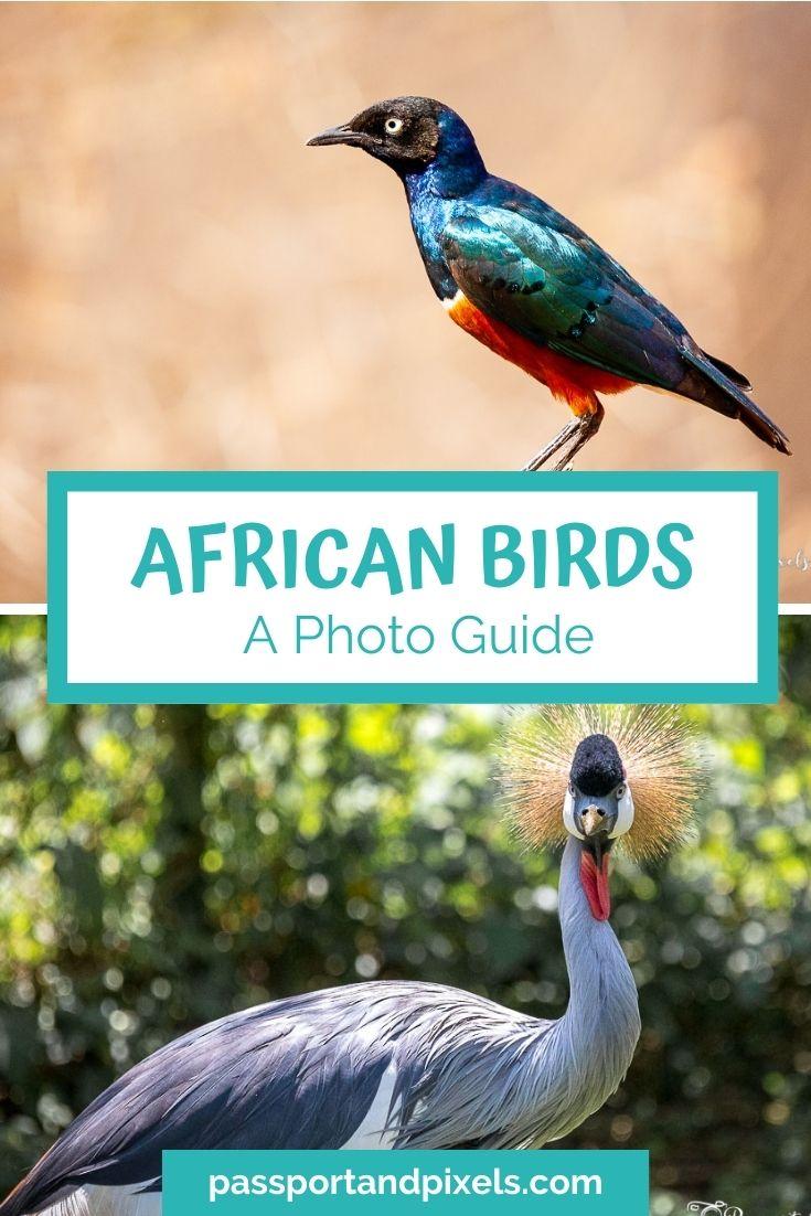 African birds Pinterest pin