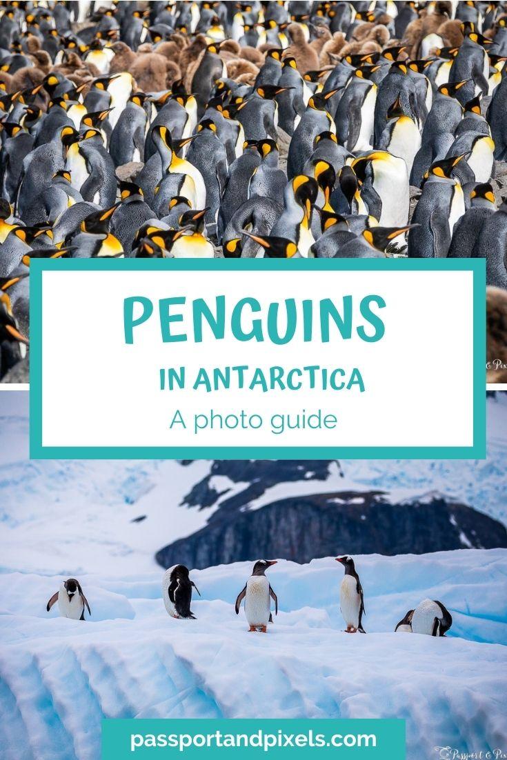 Types of penguins in Antarctica Pinterest Pin