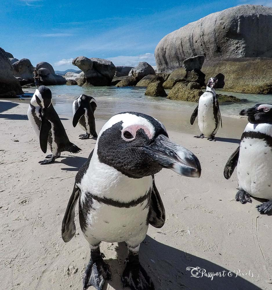You may see Magellanic penguins on your Antarctica trip if you visit the Falkland Islands