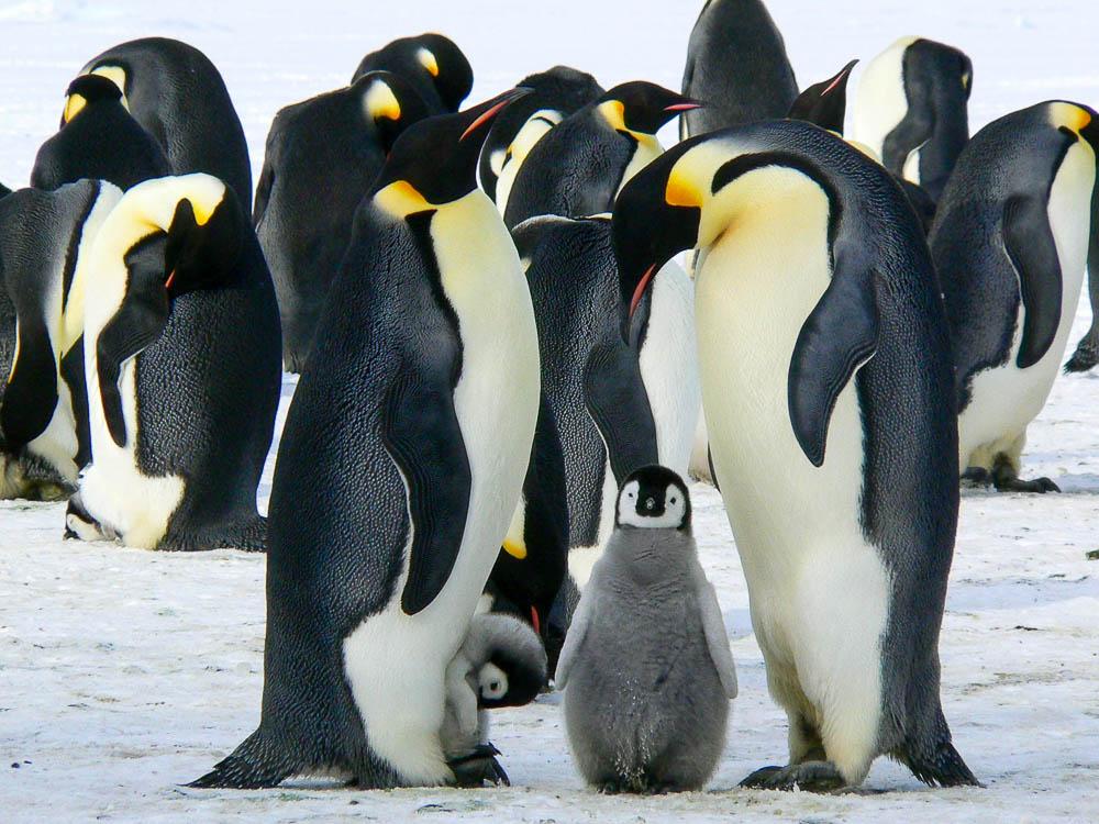Emperor penguins and chicks in Antarctica